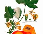 antique french botanical print tropical fruit papaya illustration digital download