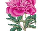 antique french botanical print pink double peony flower illustration digital download