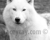 Wolf Print, Black and White Nature Photography, White Wolf, Arctic Wolf, Wolf Art, Wolf Photo, Fairy Tale, Game of Thrones