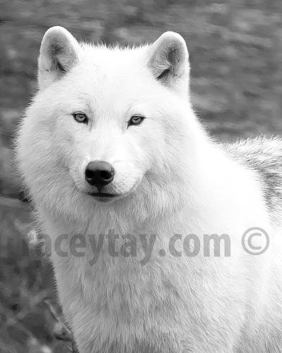 Wolf Print, Black and White Nature Photography, White Wolf, Arctic Wolf, Fairy Tale, Game of Thrones, Mens gift