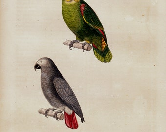 1839 Antique BIRD print of lovely parrot species, parakeet, antique hand colored ornithology print, vivid colors