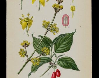 1896 Antique print, BOTANICAL print, lovely chromolithograph of a Cornelian cherry, European cornel or dogwood flower