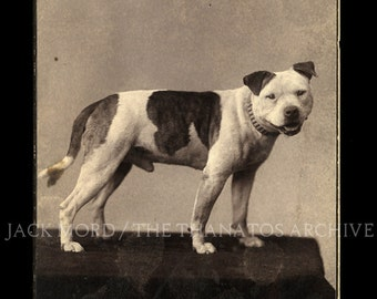 Two Great 19th Century PitBull Dog Cabinet Card Photos