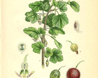Botanical Image GOOSEBERRY ( Krusbar, Ribes Grossularia L. ) Book Plate 279