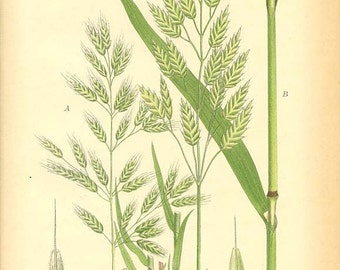 RYE BROME - Botanical Book Plate 446 -  1905 Chromolithograph Plant Illustration