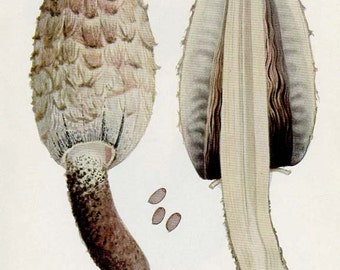 ANTIQUE MUSHROOM Double-Sided Book Plate Shaggy Mane and Bracelet Cortinarius New York State Museum Handbook 1935