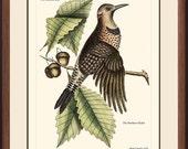 FLICKER - Vintage Catesby Bird  print reproduction - 59