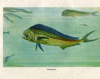 Vintage Print Bluefish  Brehms Tierleben 1920s