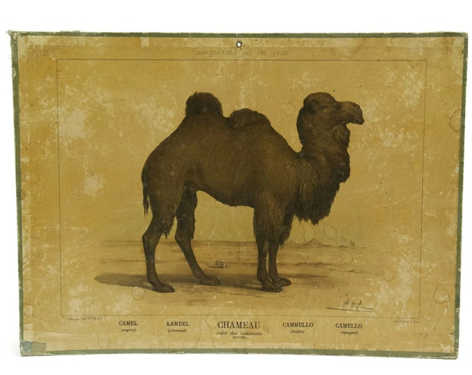 Antique Camel Print by Charles-Olivier de Penne. Antique Hachette French School Poster Board. Enseignement par Les Yeux.