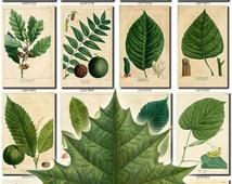 LEAVES GRASS-12 Collection of 160 vintage botanical pictures High resolution digital download printable oaks plants maple fir alder pine