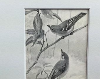 Antique Bird Print, Vireos, Ernest Thompson Seton, Matted Bird Print, 8x10, Bird Lover Gift, Gift Under 25, Vintage Bird Print Gift