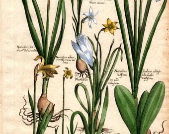 1719 DAFFODIL Narcissus Vintage Botanical Print De Bry Color Copper Plate CLVI Antique Botanical Print