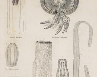 1850s Antique Print, Animals, Zoophytes, Invertebrates, Jellyfish. Black and White Engraving