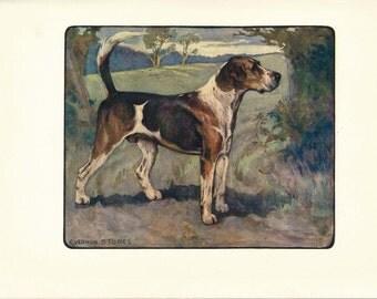 1906 Fox Hound Dog Antique Print