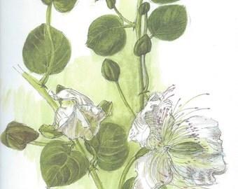 Vintage botanical print - Capparis Spinosa L. - Caper - 25