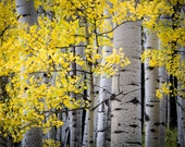 Aspen Trees Crested Butte Autumn Forest Leaves Fall Colorado October Rustic Cabin Lodge Photograph