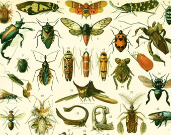 1900 Insect Antique Print Larousse Beetles Bugs Entomology Large Size 115 YEARS OLD  Wall Art
