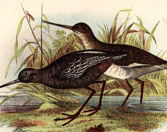 "1896 Rare ANTIQUE BIRD PRINT ""Spotted Redshank"" Chromolithograph"