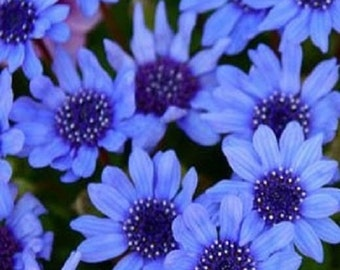 50 Seeds Blue Daisy Felicia Blue Daisy Seeds