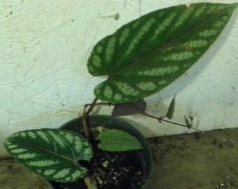 Cissus Discolor Rex Begonia Vine House Plant