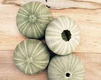 Multiple Quanity Green Sea Urchin Shells/Tests - FAST and FREE SHIPPING wholesale, wedding, party, thank you, event, name card