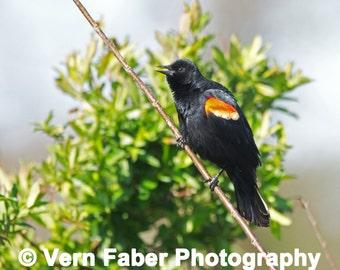 Red-winged Blackbird, Bird Photo, Red-winged Blackbird Photo, Nature Photo, Photograph Print, Bird Photo, Nature Photo, Photograph Print