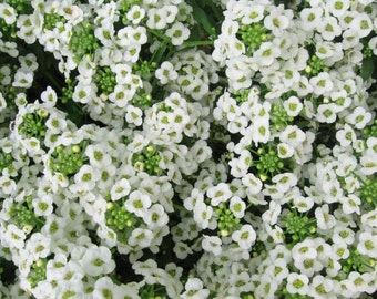 Carpet of Snow-  Sweet Alyssum Seeds - 50 seeds