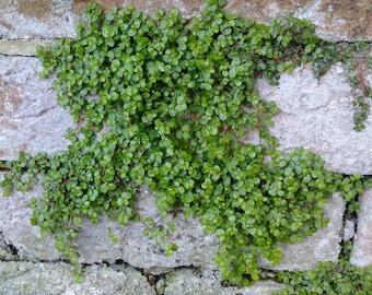 5 x Soleirolia Soleirolii. Fairy Moss,Babys tears,Helxine,mind your own buisness
