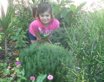 Rosemary (40 thru 2,500 seeds ) herb garden bulk non gmo heirloom #148