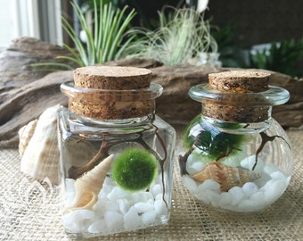 Small Cork Marimo Aquariums by Zentilly©