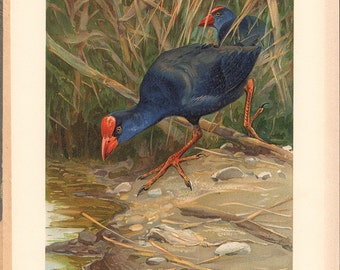 "Purple Swamphen Print from 1913, German ""Purpurhuhn"", Antique Lithographs, bird illustration"