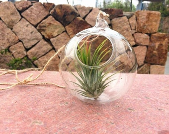 """4"""" Haning glass orb terrarium with a Ionantha Tillandsia """"Forgo"""" air plant-gifts for friends"""