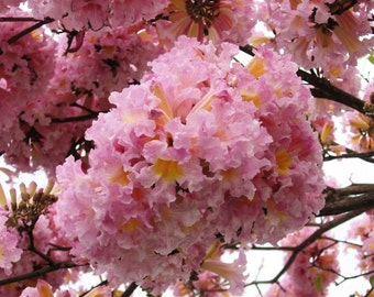 Tabebuia Rosea Tree 15 Seeds, Pink Poui Flowering Garden Ornamental Trumpet