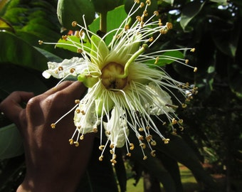 Duabanga Grandiflora Edible Shade Tree, 100+ Seeds, Rare Tropical Large Flowers