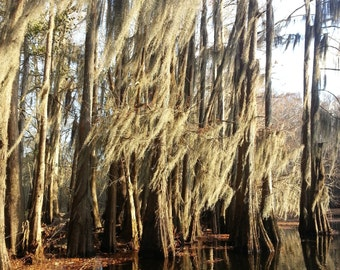"Insta-Print 2: Spanish Moss Trees in the Bayou 5""x5"""