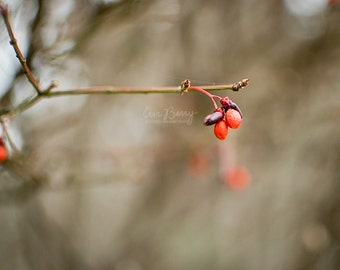 Red Berries - Nature Photography Print