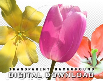 3 Tulip Flowers Clip Art Photos | Isolated PNG Stock Photos | Floral Clipart Stock Photography | Spring Flowers Commercial Use | Tulips01