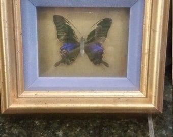 Vintage Framed Butterfly Specimen
