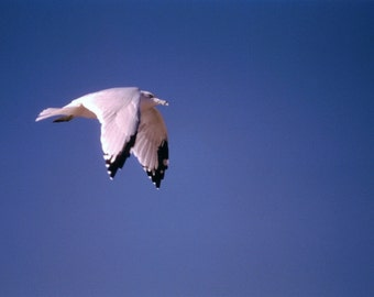 Seagull In Flight #183