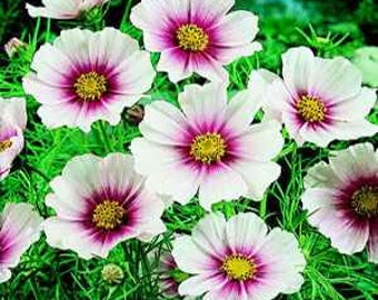 Cosmos Day Dream Flower Seeds/Mexican Aster/Annual  50+