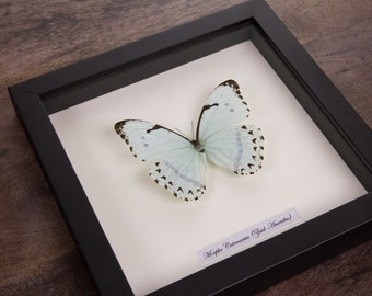 The Mint Morpho in Black Wooden Frame | Morpho Catenarius | Real Framed Butterfly | Taxidermy