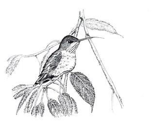 Print (Ruby-Throated Hummingbird)
