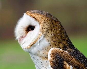 Old Barn Owl