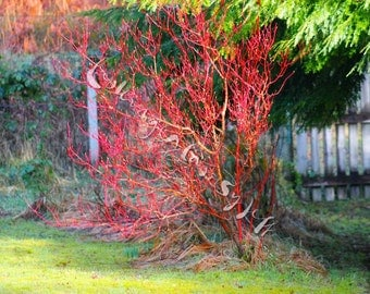 Fire Tree Digital Photography, Nature, Colour, Spring, Natural World