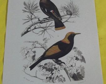Displays School Zoology Birds Waxwing Bohemian / Séricule Prince Regent in 1970.