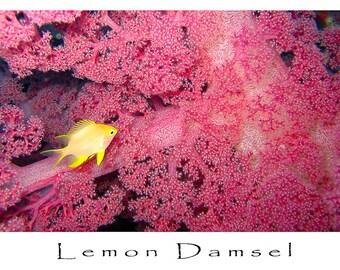 Greeting Card, Underwater Image, Lemon Damsel on Soft Coral