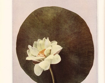 1921  Lotus Vintage Flower Print 9x12 In.