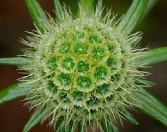 35+ Green Pincushion Scabiosa / Perennial Flower Seeds
