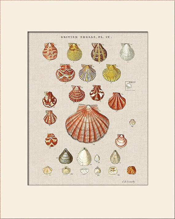 Sea Shell Print, Plate 9, George Sowerby, Art Print with Mat, Natural History Illustration, Wall Art, Nautical Art, Costal Decor