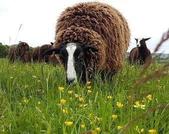 Raw Zwartble Shearling Wool Fleece